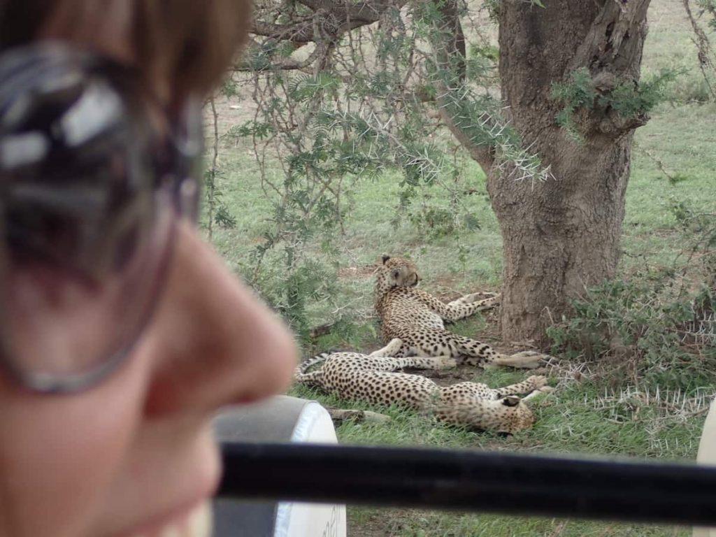 nasmejan obraz opazuje geeparda